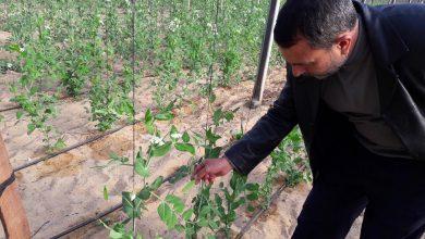 """Photo of زراعة خانيونس: زراعة البازلاء """"المتسلقة"""" للتعرف على نسبة العقد وجودة الثمار مقارنة بالزراعة المبكرة"""