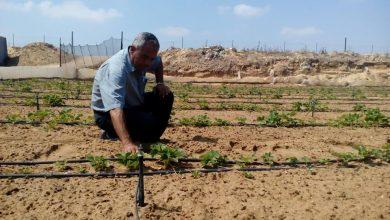 """Photo of الزراعة تشرع بإحصاء مشاتل التوت الأرضي """"الفراولة"""""""