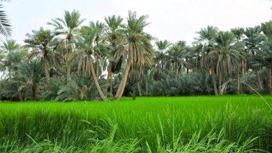 """Photo of """"الزراعة"""" و""""الرحمة"""" تطلقان مشروع توزيع فسائل النخيل"""