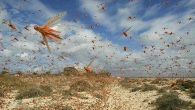 "Photo of الزراعة بغزة: نراقب تحركات أسراب ""الجراد"" ونأخذ الاحتياطات اللازمة لمواجهته"