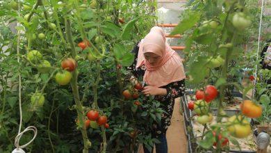 Photo of المهندسة إرادة الزعانين… قصة نجاح جديدة في استخدام الزراعة المائية