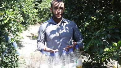 Photo of توزيع مصائد ذبابة الفاكه على عدد من مزاعي الحمضيات شمال غزة