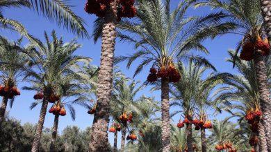 Photo of بالصور.. الزراعة تفتتح موسم جني البلح للعام ٢٠١٩
