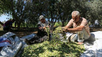 Photo of الزارعة تجدد دعوتها المزارعين إلى الالتزام بموعد قطف الزيتون