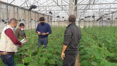 Photo of الزراعة تواصل تنفيذ جولاتها الميدانية لمتابعة ما يتم تجريبه من أصناف جديدة من الخضار في القطاع