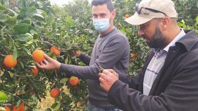 Photo of زراعة الوسطى تنظم جولة ارشادية لتقدير الكميات المتوفرة من أصناف الحمضيات