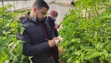 Photo of زراعة رفح تتابع التجارب الجديدة لإصناف البندورة