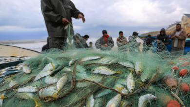Photo of الزراعة: (65) طناً من الأسماك تم اصطيادها بعد المنخفض الأخير