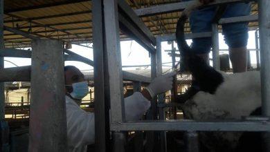 Photo of الخدمات البيطرية برفح تشرع بمسح شامل للكشف عن البروسيلا في أبقار الحليب