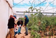 Photo of زراغة خانيونس تواصل حصر أضرار المزارعين خلال المنخفض الأخير