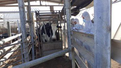 Photo of الزراعة تواصل فحص الأبقار الواردة من الخارج  بمحجرها البيطري