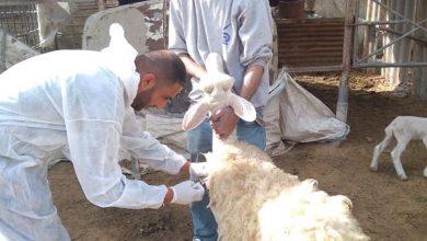 Photo of الخدمات البيطرية برفح تنفذ حملة تطعيم ضد PPR