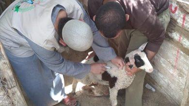 Photo of استمرار حملة التطعيم ضد طاعون المجترات الصغيرة في محافظة رفح