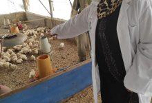 Photo of بالصور..الخدمات البيطرية بخان يونس تتابع شكاوي مربي الدجاج اللاحم
