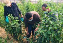 """Photo of بالصور..زراعة خانيونس تتفقد مزارعي الخضار بمنطقة""""المواصي"""""""