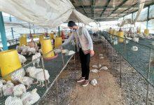 Photo of زراعة الوسطى تتفقد مربي الدواجن للتأكد من جودة مدخلات الصوص والأعلاف