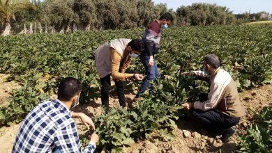 Photo of زراعة الوسطى تعالج شكوى مزارعي الخضار في صنف الباذنجان