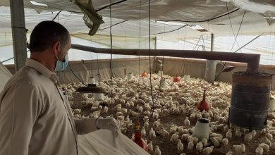 Photo of بيطرة رفح تتفقد مزارع الدجاج اللاحم وتقدم الإرشات اللازمة