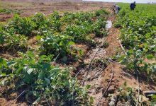 Photo of الزراعة : السلة الغذائية لسكان القطاع تقترب من حافة الخطر