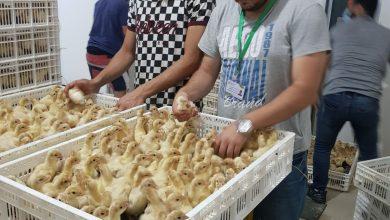 Photo of بالصور…الزراعة تنظم عدة جولات ميدانية على الفقاسات العاملة في القطاع