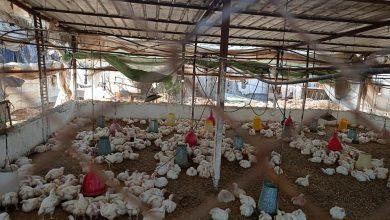 Photo of زراعة الوسطى تنفذ جولة ميدانية على مزارع الدجاج اللاحم