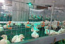 Photo of بيطرة رفح تنظم جولة إرشادية  على مزارع الدجاج في المحافظة