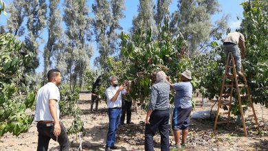 """Photo of زراعة غزة تنفذ جوله تفقدية على مزارع المانجا فى محررة """"طيبه"""""""