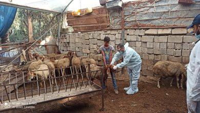 Photo of تستهدف 40 ألف رأس..الزراعة تطلق حملة التحصين ضد مرض الحمى المالطية
