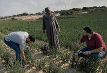 Photo of زراعة خان يونس تحصي المساحات المزروعة بالبصل